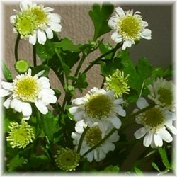 chamomile beauty recipes