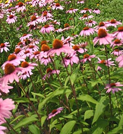Beautiful Echinacea