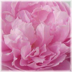 rose beauty recipes