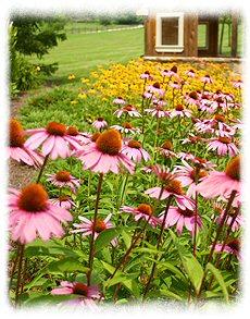 Beautiful, healing Purple Cone Flowers