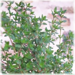 thyme beauty recipes
